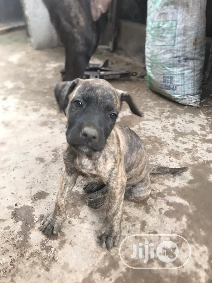 Baby Female Purebred Boerboel   Dogs & Puppies for sale in Central Business Dis, Abuja (FCT) State, Nigeria