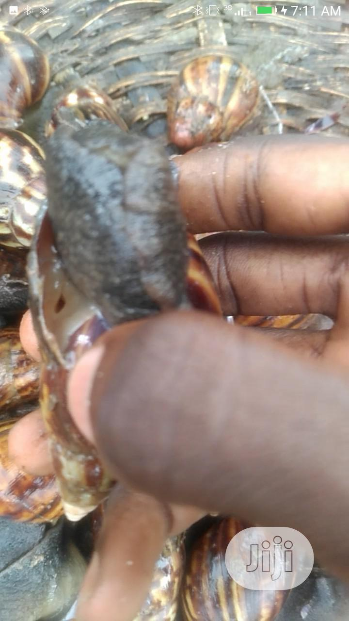 Snails (Point Of Lay) | Other Animals for sale in Ojo, Lagos State, Nigeria