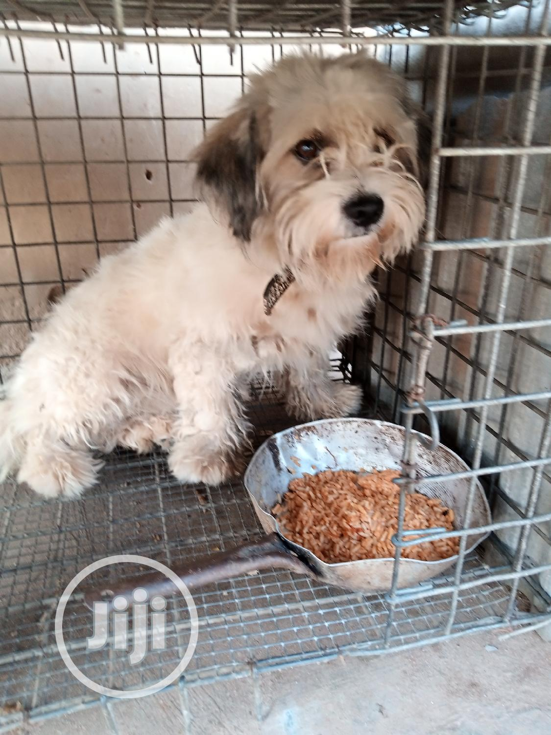Adult Male Purebred Lhasa Apso | Dogs & Puppies for sale in Agege, Lagos State, Nigeria