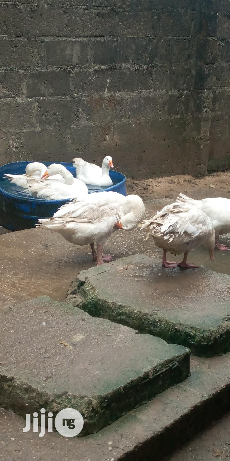 Archive: Adult Geese