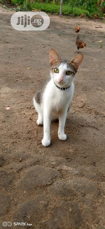 Senior Female Purebred Mongrel (No Breed)   Cats & Kittens for sale in Obio-Akpor, Rivers State, Nigeria