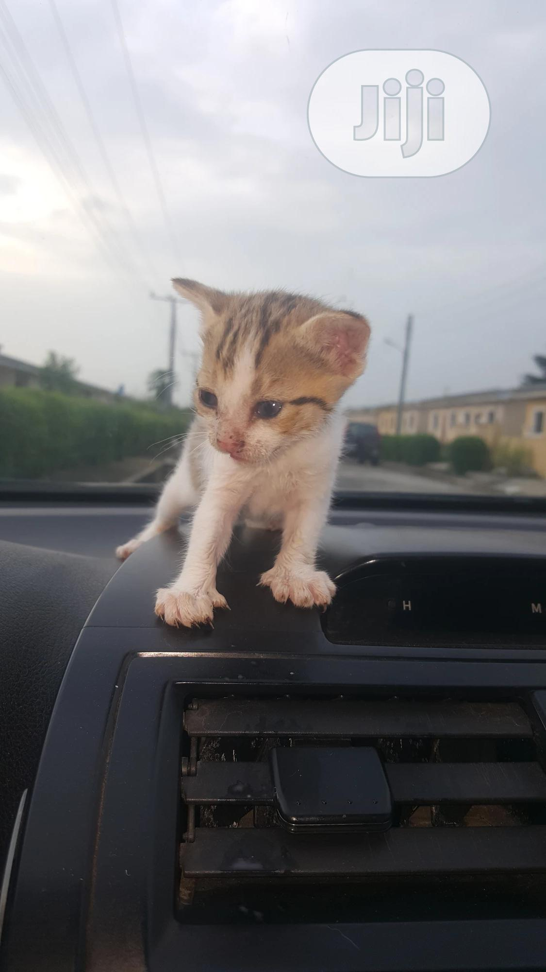 Baby Female Mixed Breed | Cats & Kittens for sale in Epe, Lagos State, Nigeria