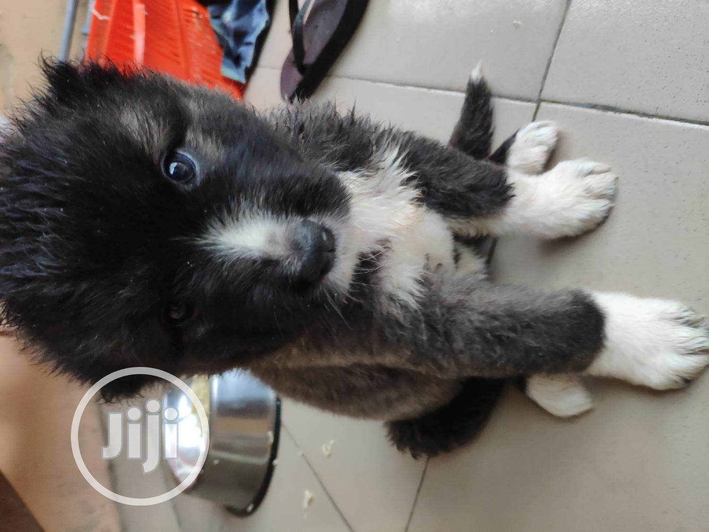 Archive: Baby Female Purebred Caucasian Shepherd