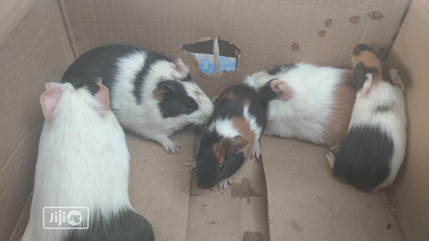 Guinea Pigs | Livestock & Poultry for sale in Kubwa, Abuja (FCT) State, Nigeria