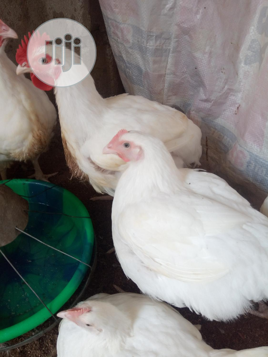 Boriler Chicken 3 Months Old 4000