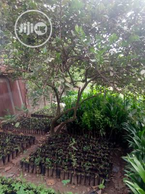 Hybrid Oilpalm Seedlings Available For Sale | Feeds, Supplements & Seeds for sale in Oyo State, Ibadan