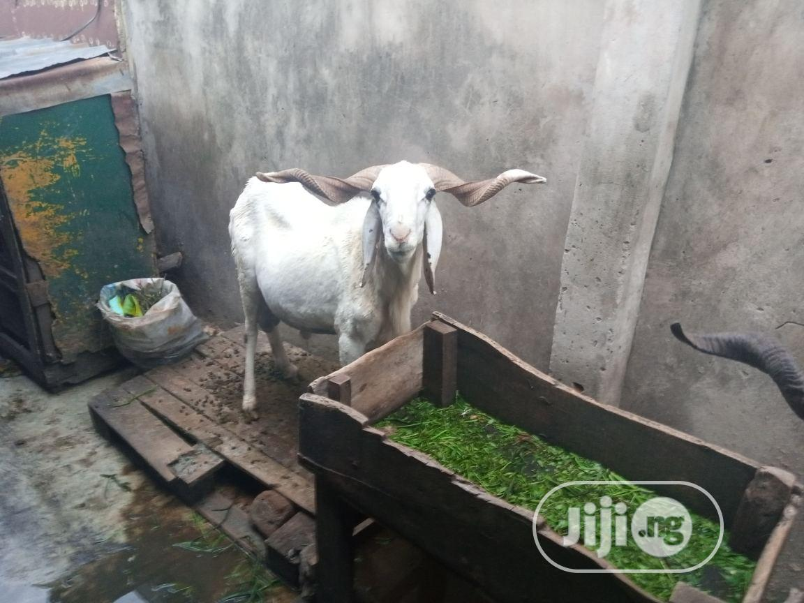 COW,RAM,GOAT For Sale | Livestock & Poultry for sale in Agege, Lagos State, Nigeria