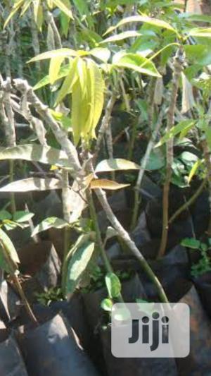 Mango ,Coconut,Seedlings N2,000 | Feeds, Supplements & Seeds for sale in Lagos State, Kosofe