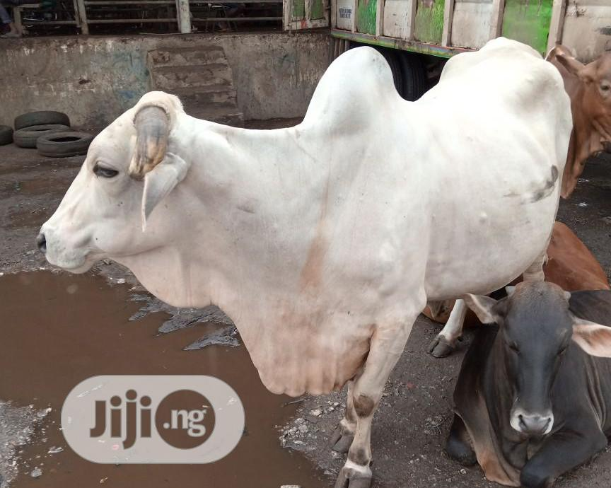 COW,RAM,GOAT For Sale
