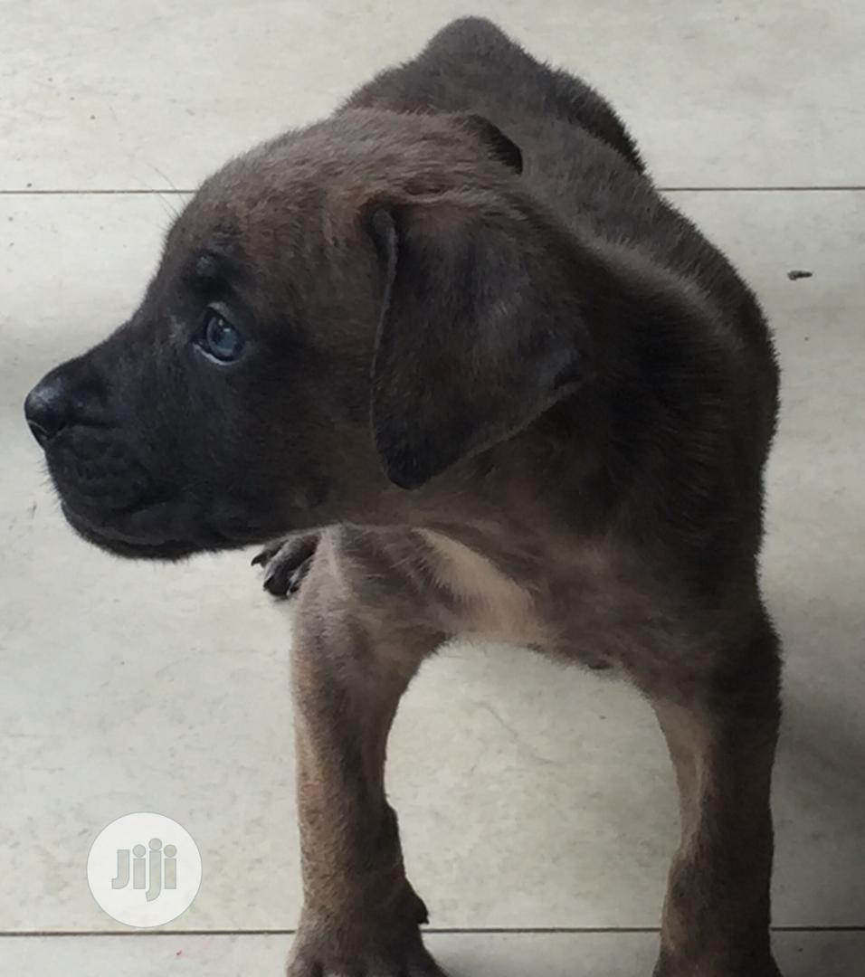 Young Female Purebred Boerboel | Dogs & Puppies for sale in Ikeja, Lagos State, Nigeria