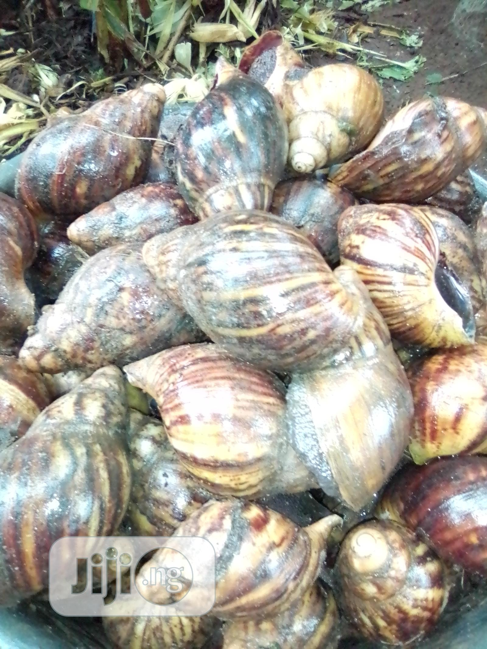 Archive: Healthy Snails For Sell