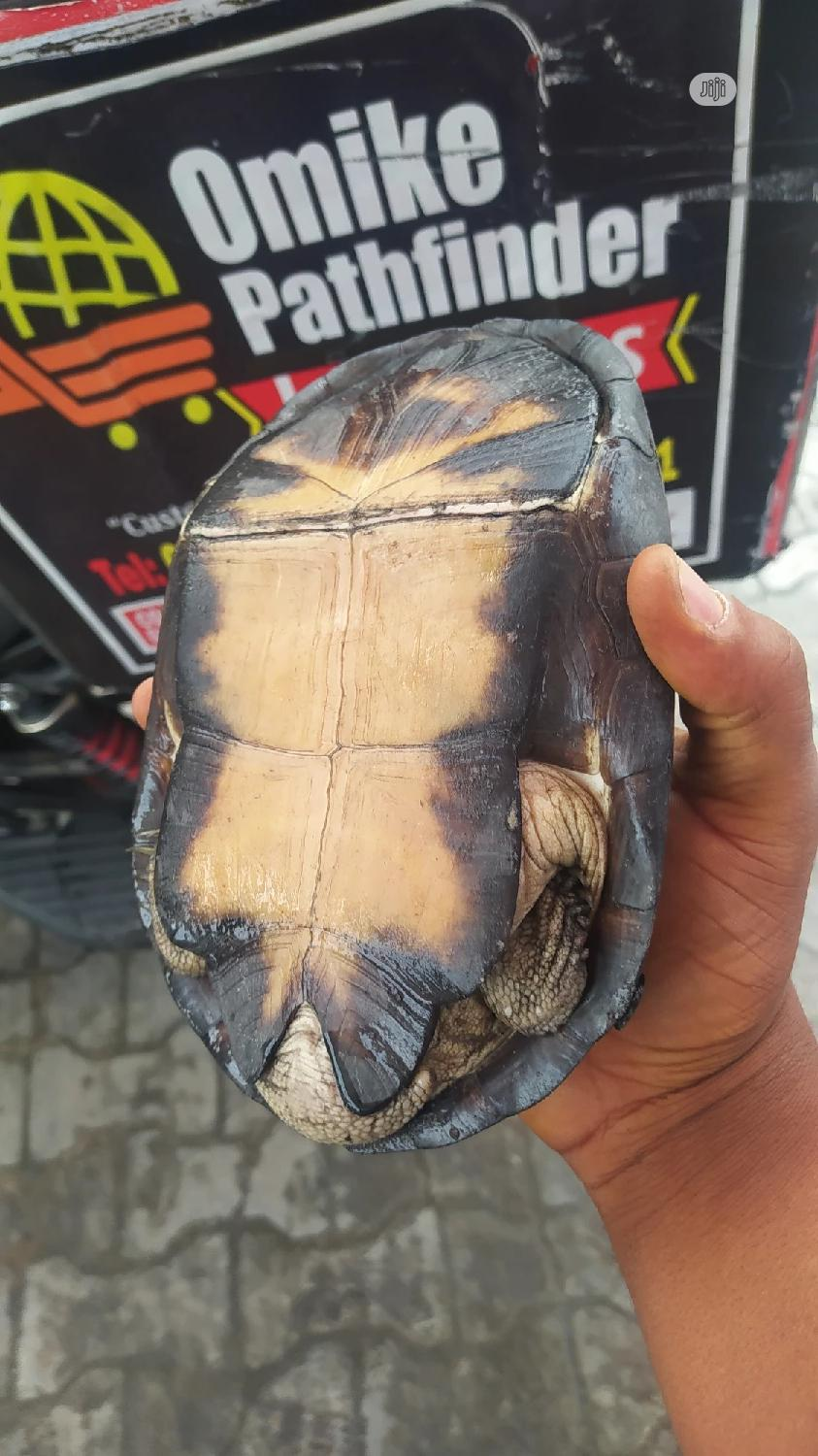 Tortoise As Pet For Sale | Other Animals for sale in Lekki Phase 1, Lagos State, Nigeria