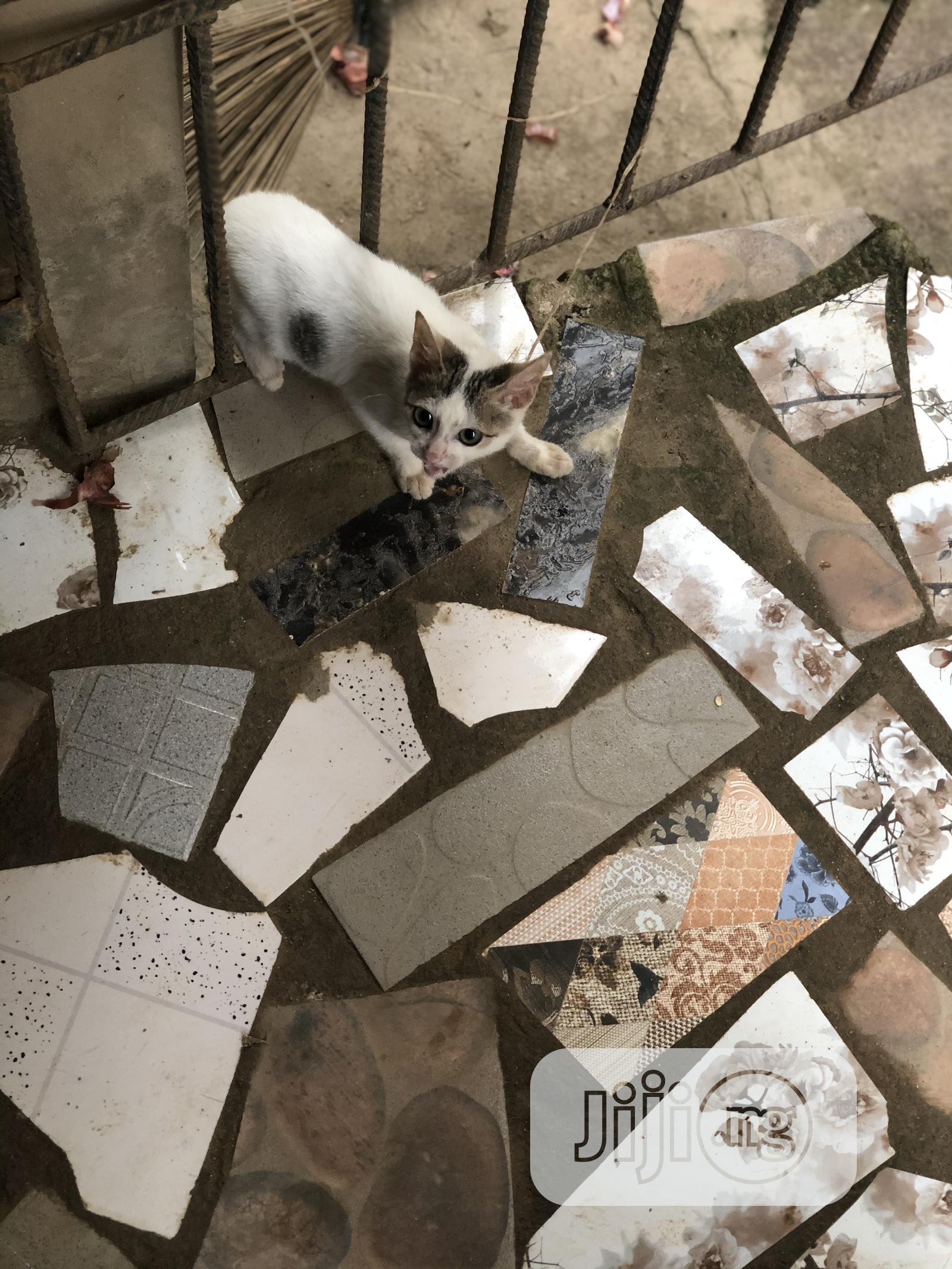 Baby Female Purebred American Wirehair | Cats & Kittens for sale in Osogbo, Osun State, Nigeria