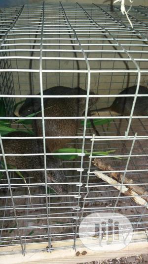 Grasscuter   Livestock & Poultry for sale in Lagos State, Ikorodu