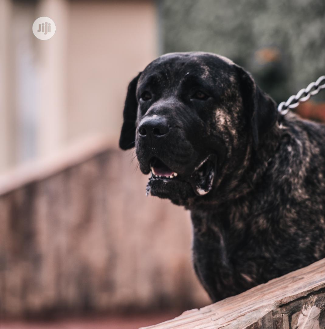 Baby Male Purebred Cane Corso | Dogs & Puppies for sale in Ajah, Lagos State, Nigeria
