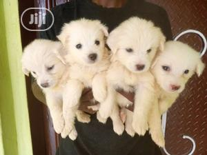 Baby Male Purebred American Eskimo | Dogs & Puppies for sale in Ogun State, Abeokuta South