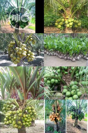 Hybrid Agric Coconut Seedlings | Feeds, Supplements & Seeds for sale in Edo State, Benin City