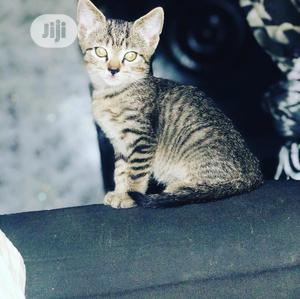 Young Male Purebred British Shorthair | Cats & Kittens for sale in Lagos State, Lekki