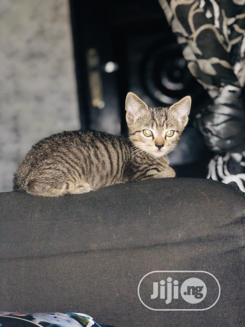 Young Male Purebred British Shorthair | Cats & Kittens for sale in Lekki, Lagos State, Nigeria