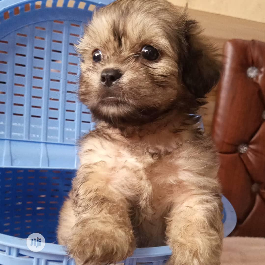 Baby Male Purebred Lhasa Apso   Dogs & Puppies for sale in Magodo, Lagos State, Nigeria