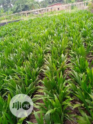 Hybrid Agri Palm Seedlings | Feeds, Supplements & Seeds for sale in Edo State, Benin City