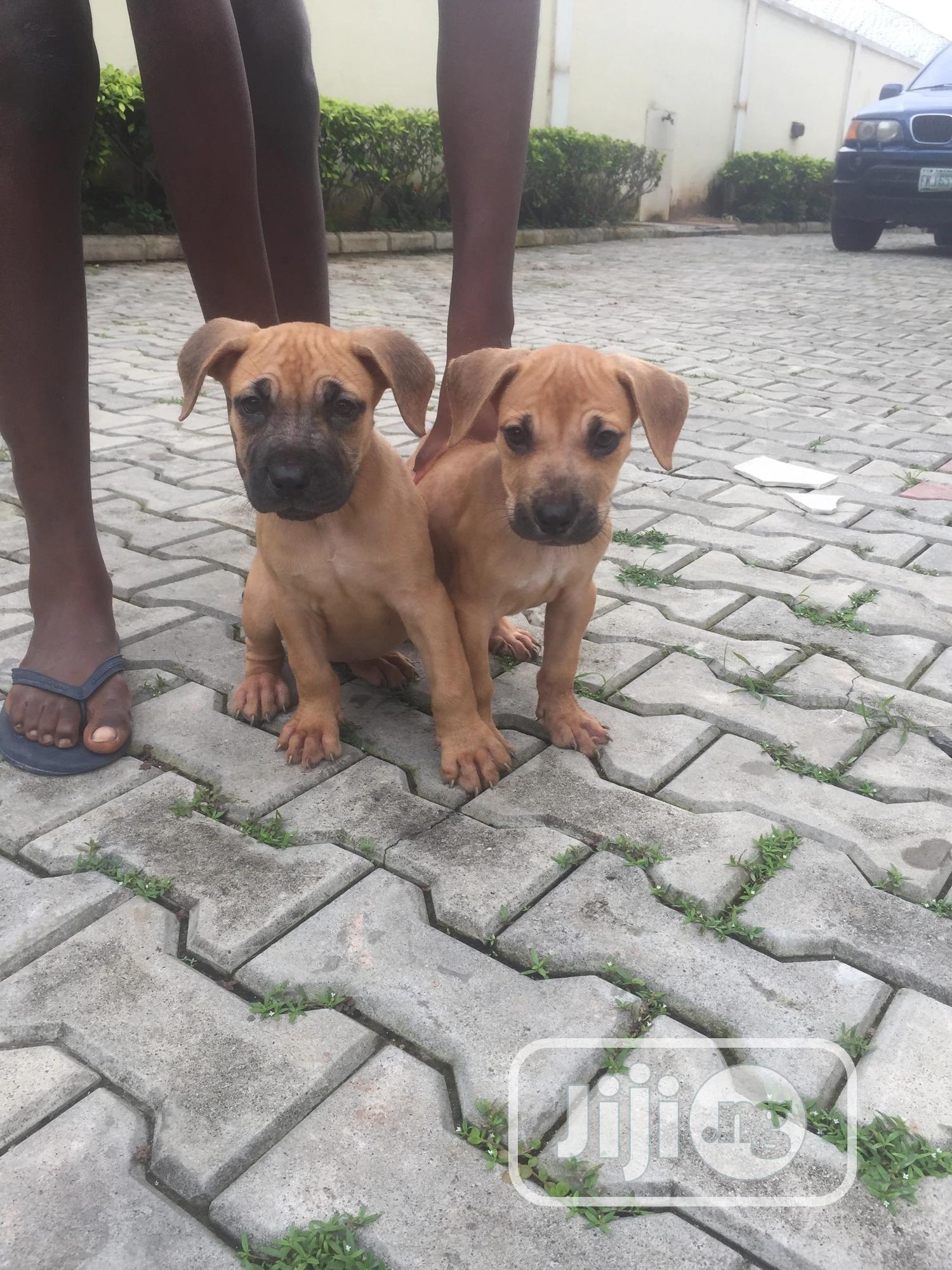 Baby Male Purebred Boerboel | Dogs & Puppies for sale in Victoria Island, Lagos State, Nigeria