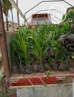 Agric Hybrid Palm Seedlings | Feeds, Supplements & Seeds for sale in Edo State, Benin City