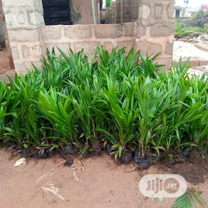 Palm Seedlings (Hybrid, Agric Tennera)   Feeds, Supplements & Seeds for sale in Edo State, Benin City