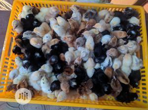 Day Old Noilers | Livestock & Poultry for sale in Kaduna State, Kaduna / Kaduna State