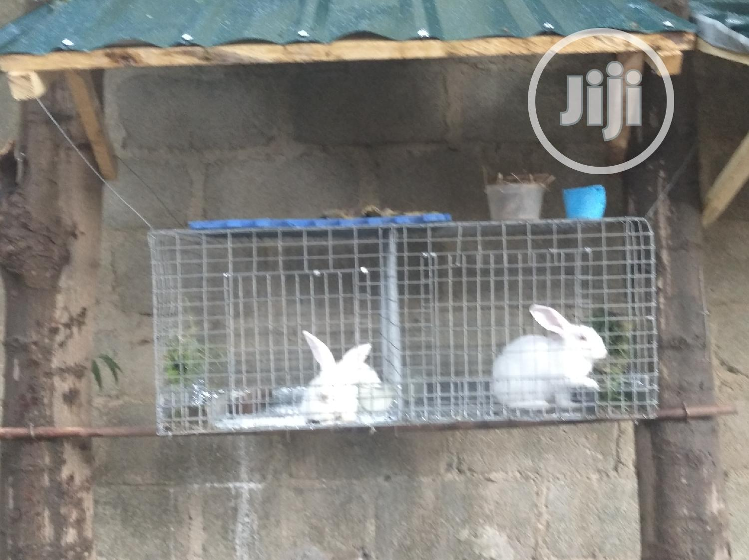 Archive: Pure Breed English Spotted Rabbit