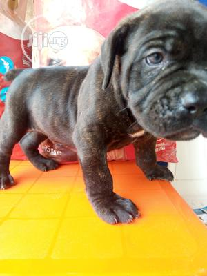 Baby Female Purebred Boerboel | Dogs & Puppies for sale in Abuja (FCT) State, Utako