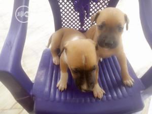 Baby Female Purebred Boerboel | Dogs & Puppies for sale in Oyo State, Ibadan
