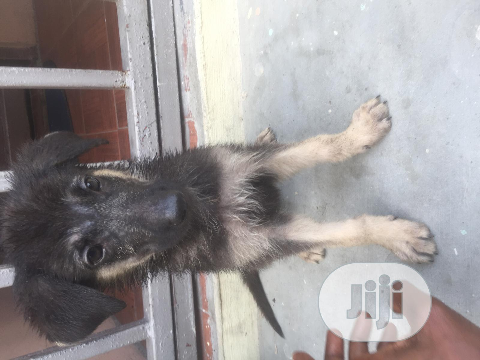 Baby Female Purebred German Shepherd | Dogs & Puppies for sale in Victoria Island, Lagos State, Nigeria