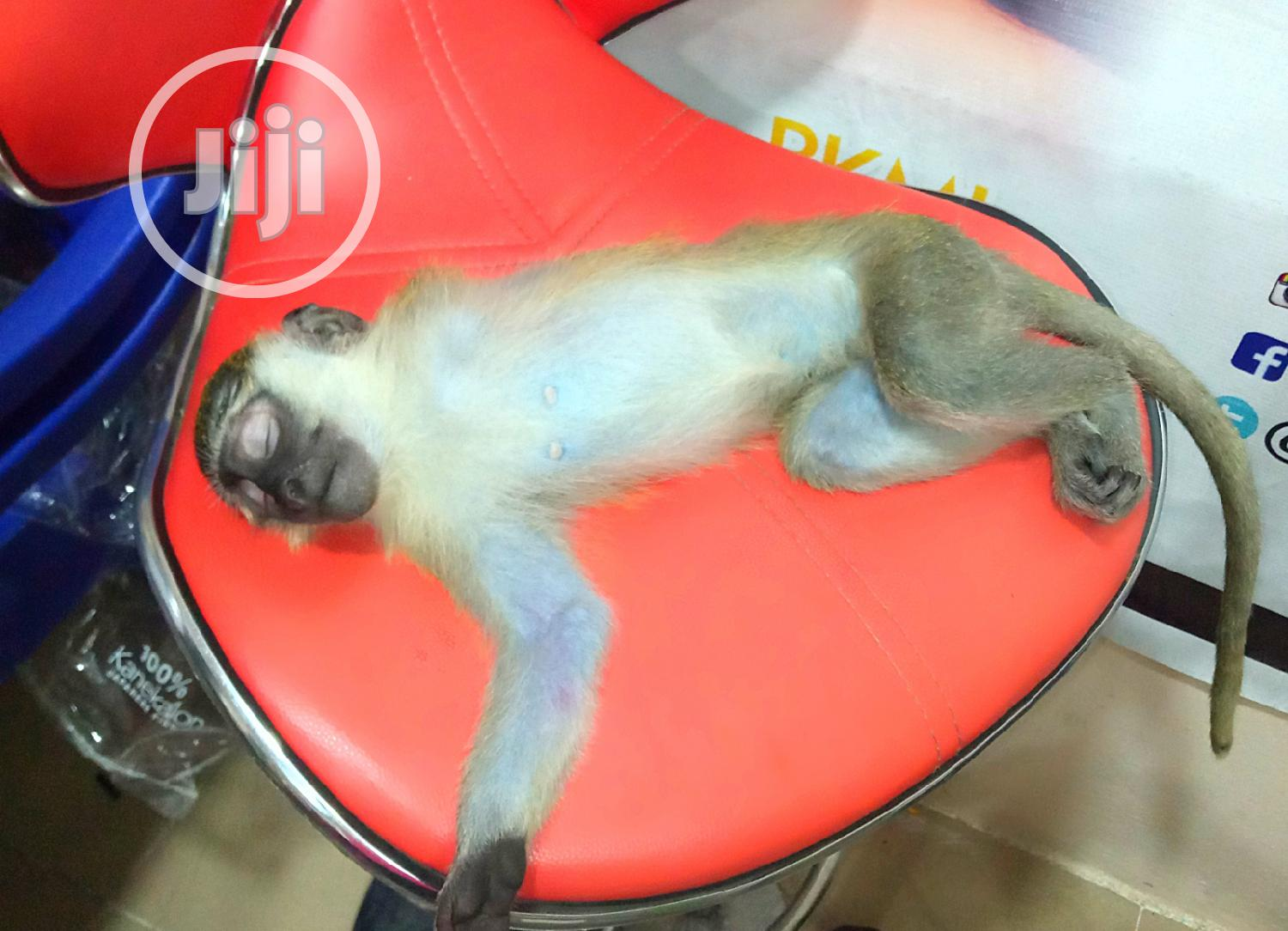 Pet Monkey | Other Animals for sale in Yaba, Lagos State, Nigeria