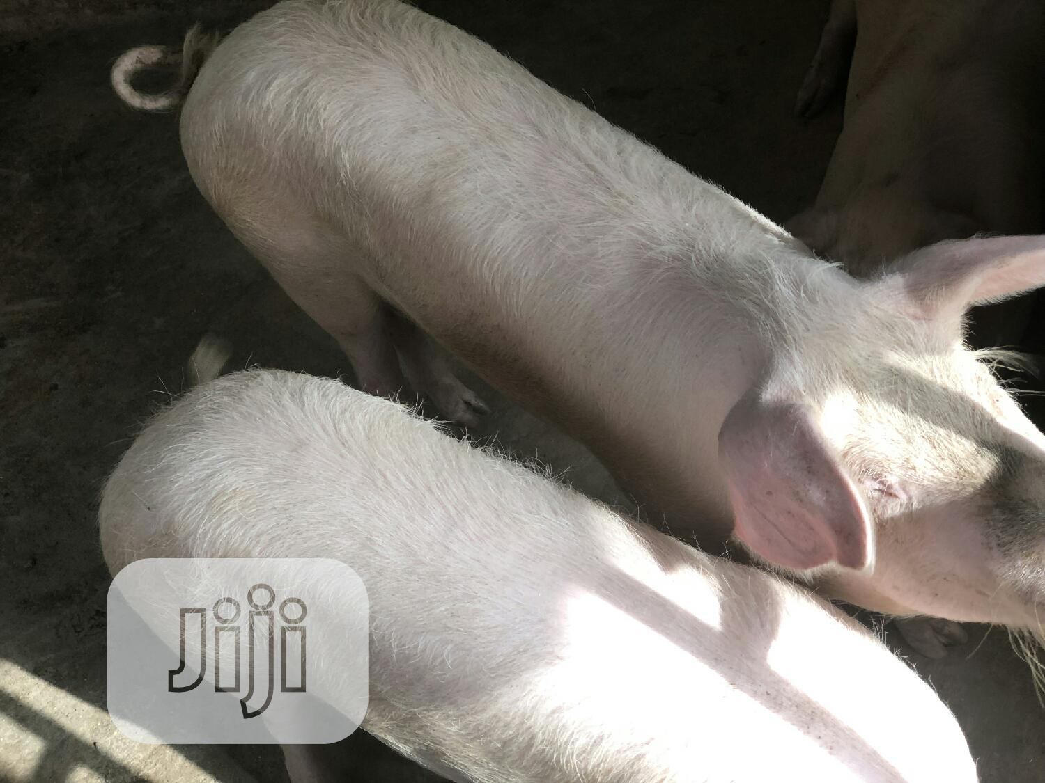 Agric Pigs(Growers) | Livestock & Poultry for sale in Bwari, Abuja (FCT) State, Nigeria