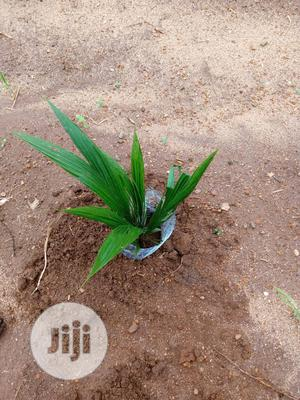 Palm Seedling, Hybrid Tenera | Feeds, Supplements & Seeds for sale in Edo State, Benin City