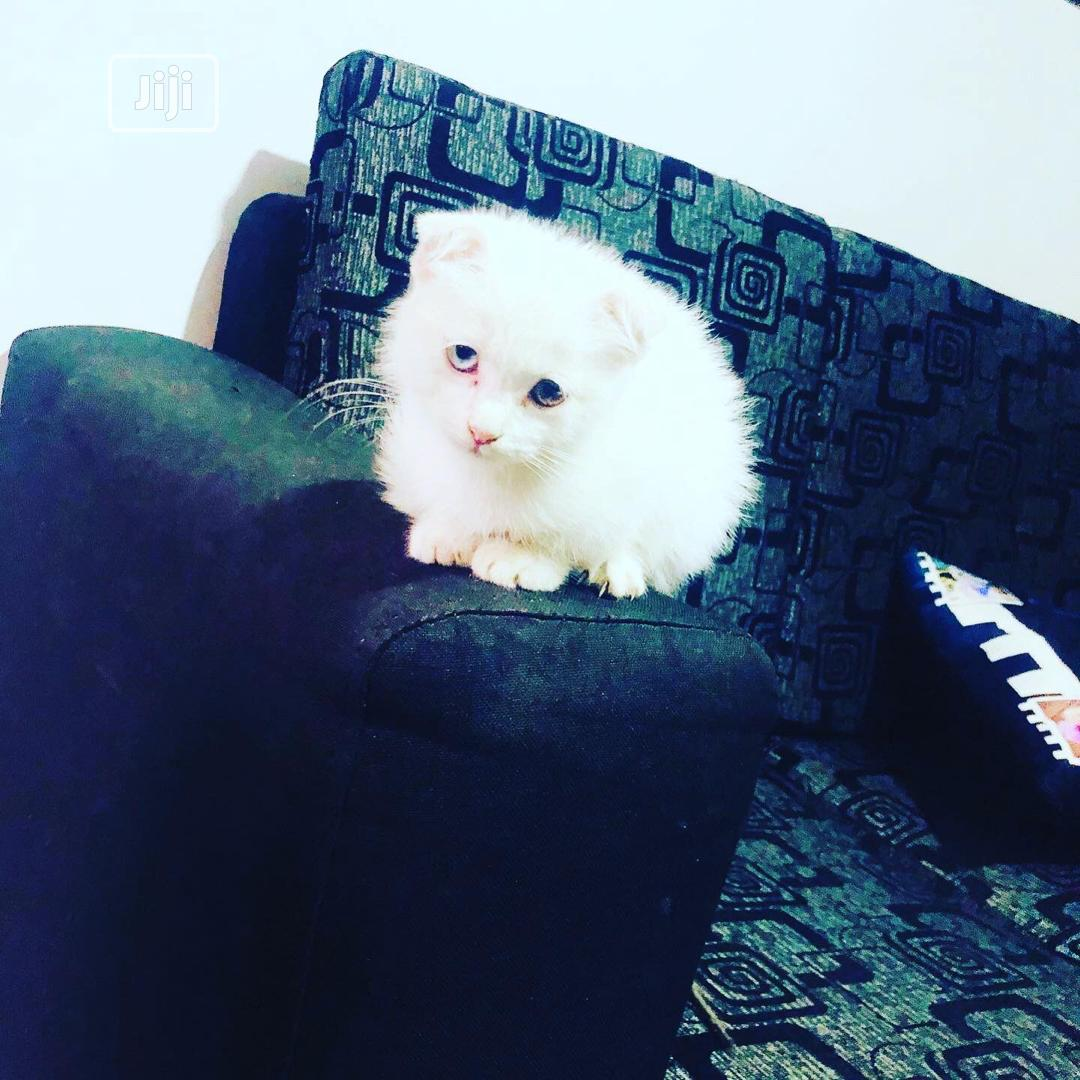 Young Male Purebred Scottish Fold | Cats & Kittens for sale in Lekki, Lagos State, Nigeria