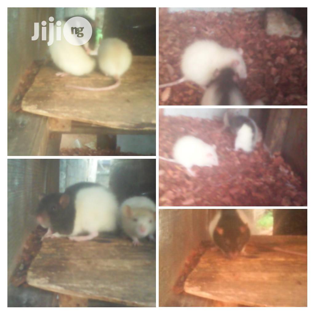 Excellent Rats For Sale