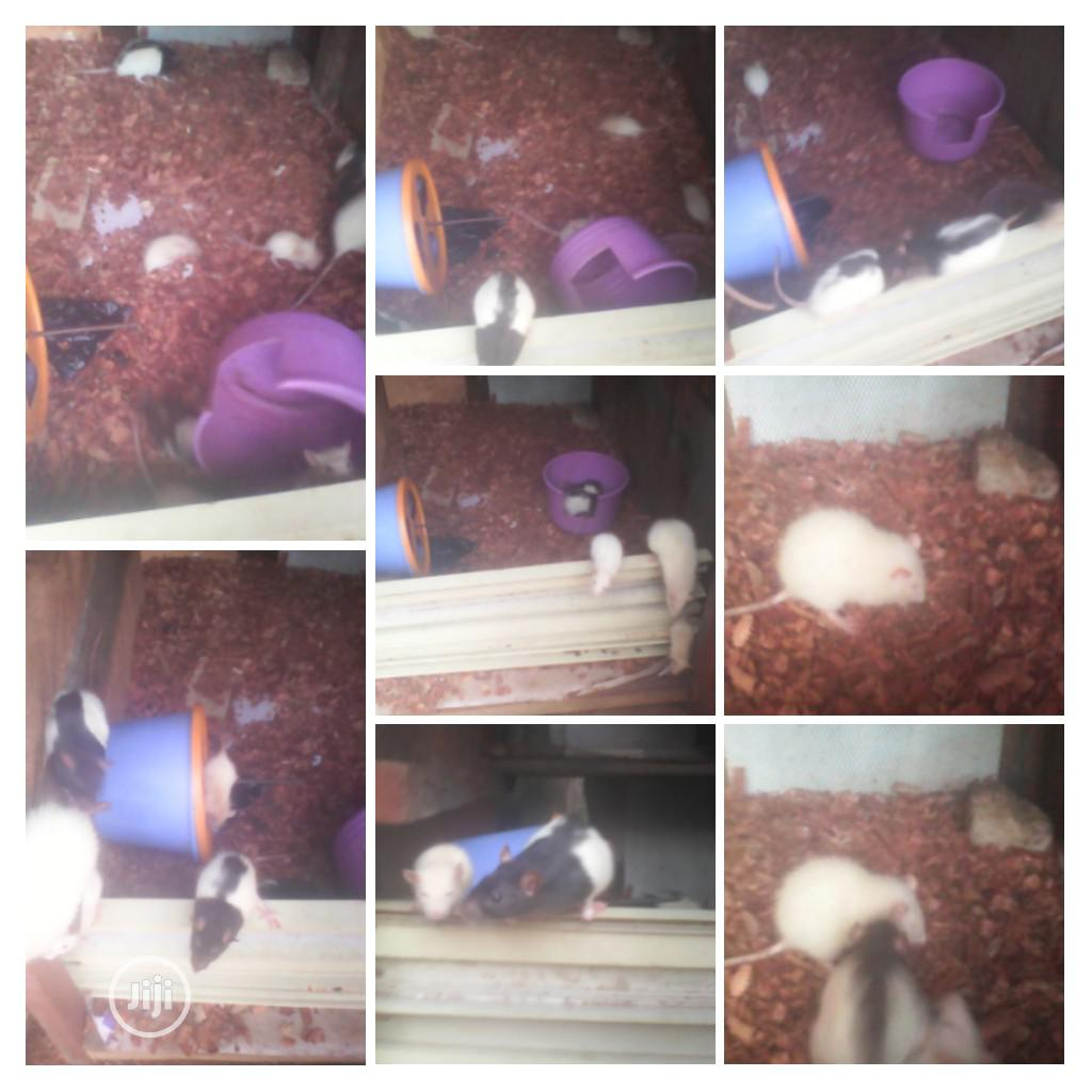 Excellent Rats For Sale | Other Animals for sale in Ifako-Ijaiye, Lagos State, Nigeria