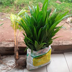 Hybrid Palm Seedling | Feeds, Supplements & Seeds for sale in Edo State, Benin City