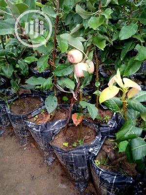 Hybrid Seedling In Large Quantity. | Feeds, Supplements & Seeds for sale in Oyo State, Ibadan