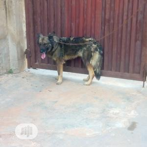 Adult Female Purebred Caucasian Shepherd   Dogs & Puppies for sale in Oyo State, Ibadan