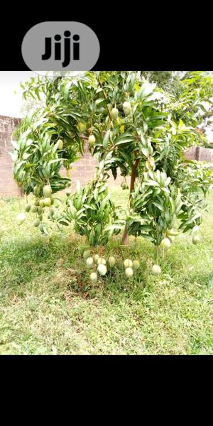 Budded Mango For Sale At Affordable Price | Feeds, Supplements & Seeds for sale in Oyo State, Ona-Ara