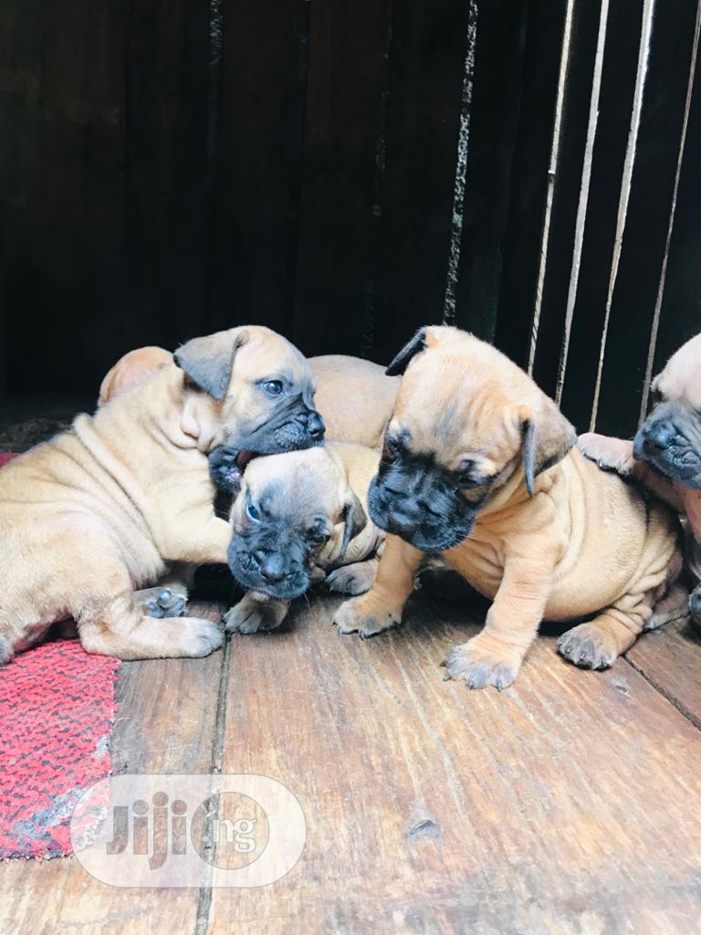 Baby Female Purebred Boerboel | Dogs & Puppies for sale in Ifako-Ijaiye, Lagos State, Nigeria