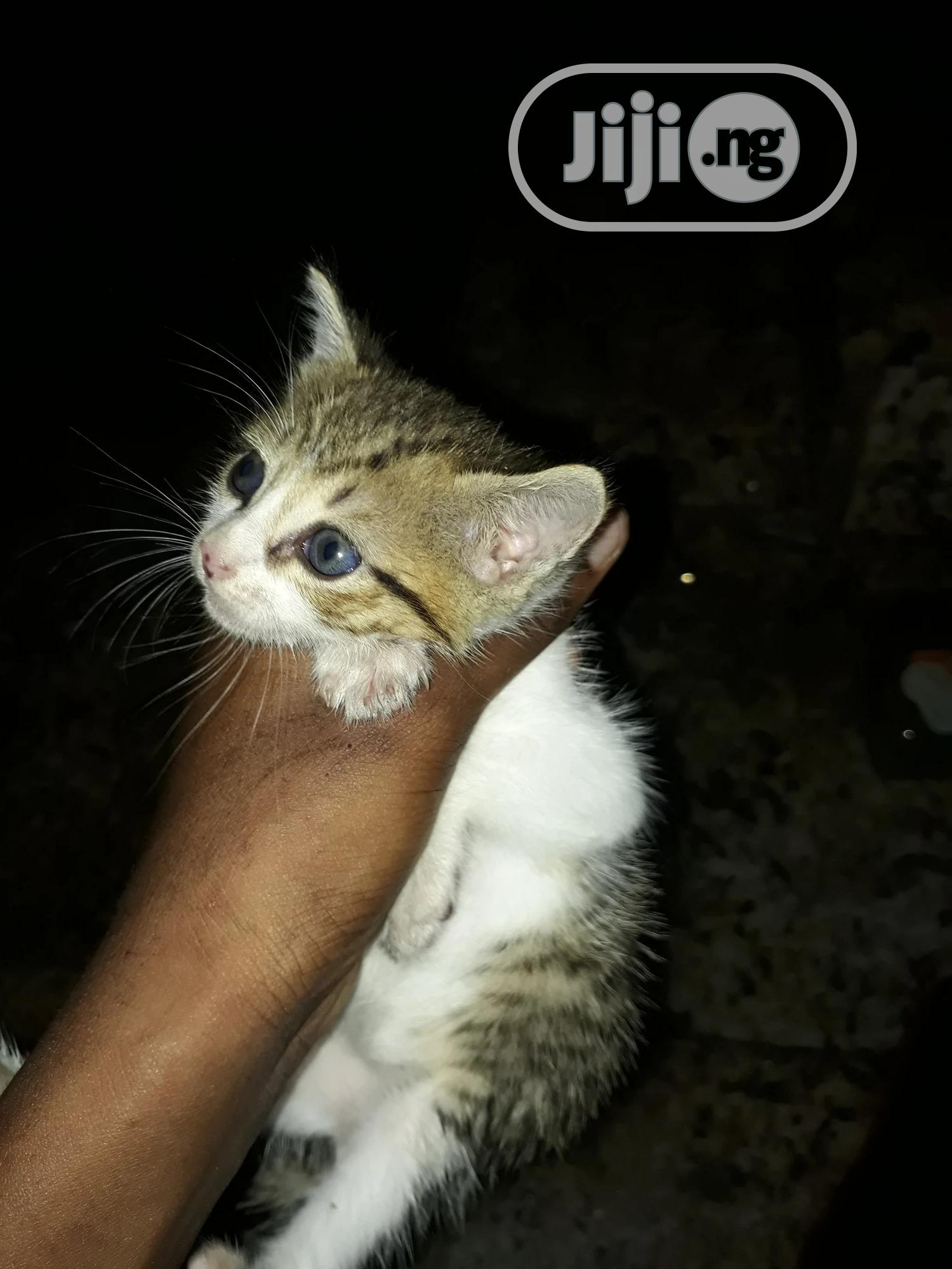 Baby Male Purebred American Wirehair   Cats & Kittens for sale in Kosofe, Lagos State, Nigeria