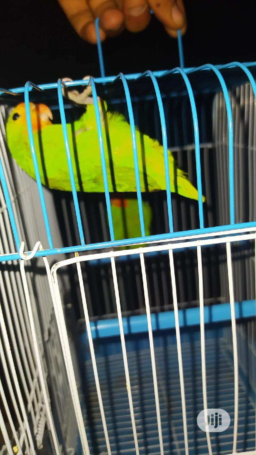 Love Bird Parrots | Birds for sale in Lekki, Lagos State, Nigeria