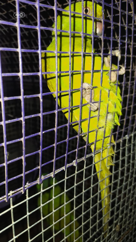 Senegal Long Tail Parrot