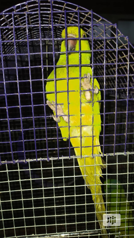 Senegal Long Tail Parrot | Birds for sale in Lekki, Lagos State, Nigeria