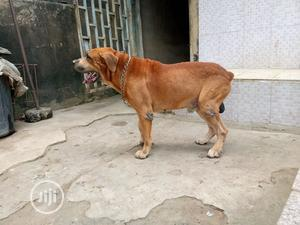 Adult Male Purebred Boerboel | Dogs & Puppies for sale in Lagos State, Isolo