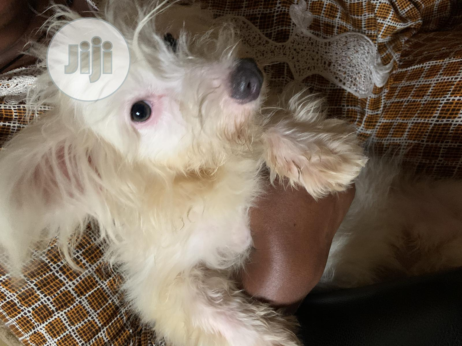 Baby Male Purebred West Highland White Terrier | Dogs & Puppies for sale in Ikotun/Igando, Lagos State, Nigeria